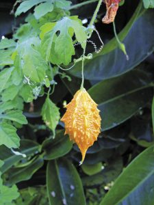 Traditional Cayman plant remedies   Cayman Health