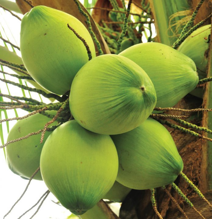 coconut tree - caymanhealth